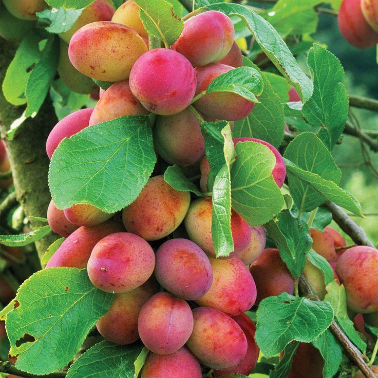 d3b729f4c23c1d4a95a2a54f116bbea8--plum-tree-fruits-and-vegetables.jpg