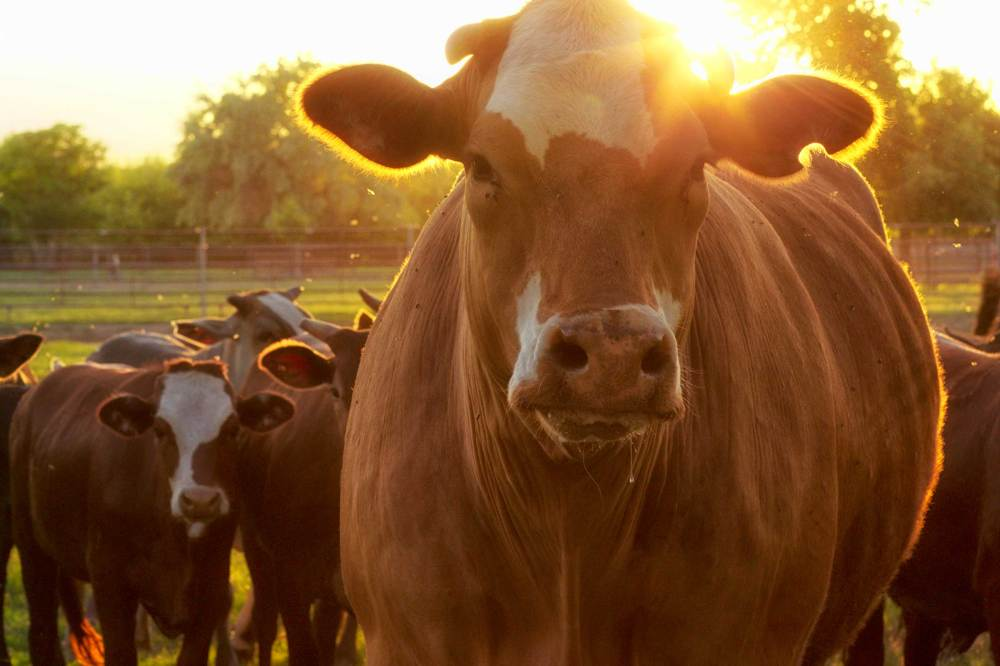 05-plagues-of-egypt-cattle