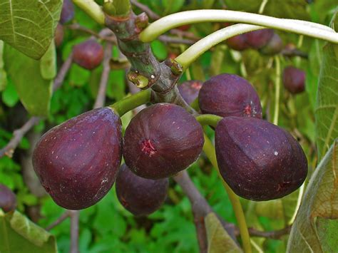 figs on fig tree.jpg